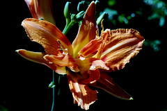 Die Lilie als Zwilling...I dont know. (dl1ydn) Tags: lilie zwilling garden blossom blüte natur nature garten selten dl1ydn makrokilar nahaufnahmen
