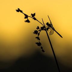 Odonate à l'heure d'or (luc.durocher) Tags: sony a7r odonata sun odonate libellule matin aube contrejour luc durocher or nature macro proxi samyang 135mm f2 morning sunrise