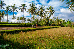 DSC_1719 (jantuchowski) Tags: bali indonesia asia south east travel photography pictures scooter bike trip road rice fields island traveler people indonesians balinese adventure