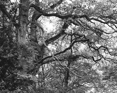 Oak Trees (Hyons Wood) (Jonathan Carr) Tags: tree rural northeast ancientwoodland black white bw monochrome landscape toyo45a 4x5 5x4 largeformat oak