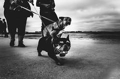 cerberus (matthias hämmerly) Tags: candid street streetphotography shadow contrast grain ricoh gr black white bw monochrom monochrome city town urban blackandwhite strasse people monochromphotography einfarbig personen silhouette dark summer france french dogs dog cerberus mont st saint michel dramatic sky clouds cloud