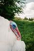 2017-05-LDT-Verschiedenes-9.jpg (land_der_tiere) Tags: land der tiere vegan veganismus veganism lebenshof animal sanctuary tierrechte tierschutz rights freiheit freedom liberation pute puten puter truthahn truthenne wilder truthuhn hahn henne hen cock truter trute wildtruthuhn turkey turkeys vogel geflügel gefieder feder bart plumage feathering feathers animals artgerecht tierrecht tierbefreiung tiernothilfe stiftung tierrettung artenschutz mahilda tante lisbeth georg udo franzjosef mika atilla sebastian humpler tier tierschutzzentrum mecklenburgvorpommern banzin vellahn hamburg ludwigslust biosphärenreservat schalsee unversehrt selbstbestimmt unversehrtheit selbstbestimmung