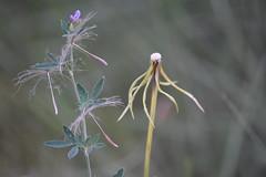 Des_compuesta (esta_ahi) Tags: fontrubí compositae asteraceae vilanos semillas penedès barcelona spain españa испания