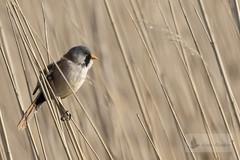 Bigotudo macho (Panurus biarmicus) (jsnchezyage) Tags: bigotudo panurusbiarmicus ave pájaro fauna naturaleza birding bird sunrays5 coth5