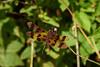 Halloween Pennant 2 (mjcarsonphoto) Tags: sandyridge halloweenpennant dragonfly