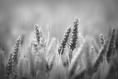 Monochrome Wheat (aveyardphotography) Tags: wheat soft shallow focus light daylight yellow green nature warm summer crop farming terrington north yorkshire uk england