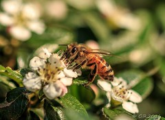 Biene (Re Ca) Tags: biene bee insekt natur nature canon eos70d sigma105mm makro