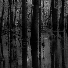 Flooded Banks 011 (noahbw) Tags: captaindanielwrightwoods d5000 dof nikon abstract blackwhite blackandwhite blur bw dark darkness depthoffield forest landscape lowlight monochrome natural noahbw quiet reflection square still stillness summer treetrunk trees water woods