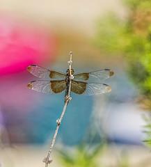 Widow Skimmer Dragonfly_MG_0123 (Explore) (918monty) Tags: dragonfly skimmer skimmerdragonflies widowskimmerdragonfly insects murphy texas murphytexas texassummerheat odonata libellulaluctosaburmeister commondragonfly natureismagic explore