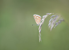 a moment to linger (Emma Varley) Tags: butterfly brownargus grass shallowdepthoffield dreamy soft gentle summer uk sussex southwatercountrypark