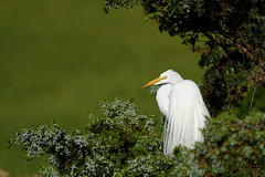 Great Egret (Mark Schwall) Tags: greategret ardeaalba markschwallphotographycom d500 nikkor200500f56vrafs nikon newjersey nj southernnewjersey bird wadingbird rookery heronry breedingplumage