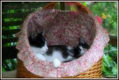 Petite sieste en famille ! (Les photos de LN) Tags: chat chatte chaton kitten cat félin animaldomestique animaldecompagnie européens famille