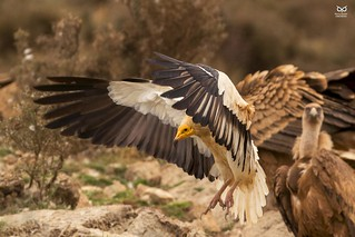 Abutre do Egipto, Egyptian Vulture (Neophron percnopterus)