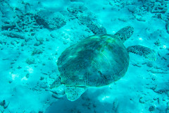 Floating (dwarfland) Tags: ifttt 500px sea water nature blue ocean animal turtle deep underwater diving swimming aquatic marine tropical curacao scuba snorkeling curaçao