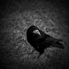 . . . i put a spell on you (orangecapri) Tags: orangecapri hss bird crow bw bnr bnw vignette eyes sliderssunday black white blackandwhite nature squareformat squareanimals corvuscorone carrioncrow look 500x500 f2l f20 ef135mmf2l littledoglaughednoiret explore explored hmbt monochromebokehthursday