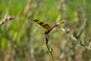 Amber Dragonfly: Halloween Pennant (marylea) Tags: dragonfly amber doublewinged insect flying jul5 2017 halloweenpennant halloweenpennantdragonfly