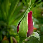 Red Rose flower bud - Bouton de rose rouge thumbnail