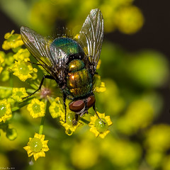 Tachinid Fly (Fred Roe) Tags: lca81a8043 nikond810 nikonafsmicronikkor105mmf28 nature wildlife insect fly tachinidfly macro peacevalleypark