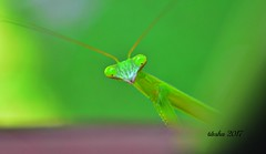 just a baby (57TJK) Tags: insect backyard mantis