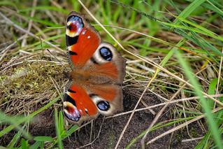 Tagpfauenauge (Aglais io) im Gras
