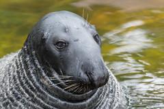 Seal Portait (magnus.johansson10) Tags: seal seals sweden skansen stockholm nikon nature animals sälar säl d500 tamron150600 zoo