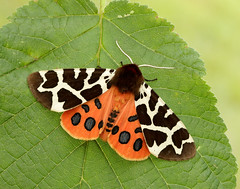 Garden Tiger Arctia caja (Iain Leach) Tags: birdphotography wildlifephotography photograph image wildlife nature iainhleach wwwiainleachphotographycom canon canoncameras photography canon1dx canon5dmk3 beauty beautiful beautyinnature macro macrophotography closeup butterfly moth lepidoptera insect invertebrate outdoors conservation gardentiger arctiacaja