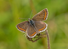 JWL6743  Brown Argus.. (jefflack Wildlife&Nature) Tags: brownargus butterflies butterfly lepidoptera insects insect countryside mendips somerset wildlife woodlands copse glades wildflowers nature