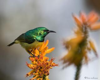 Collared Sunbird (m)