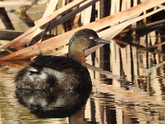 New Zealand Dabchick (Poliocephalus rufopectus) (njohn209) Tags: birds nikon p900 nz