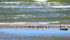 Crested Terns (with 2 larger caspians?) - probable
