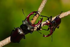 Lucanus cervus (2) (JoseDelgar) Tags: insecto escarabajo lucanuscervus 426133548697727 josedelgar thegalaxy coth coth5 specanimal sunrays5 specanimalphotooftheday naturethroughthelens