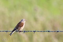 5Q7A0356.jpg (Sylviane Béguin) Tags: animaux oiseaux vacances ecosse2 linottemélodieuse