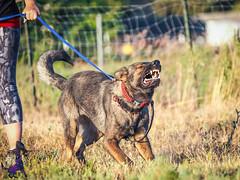 P7151650 (Songdog Studios) Tags: green dog neumond womensretreat 2017 k9 schutzhund ipo