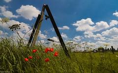 Poppies -fences (YᗩSᗰIᘉᗴ HᗴᘉS +8 500 000 thx❀) Tags: poppy poppies fence fences clouds sky hensyasmine nature flower flowers flora 7dwf