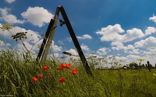 Poppies -fences