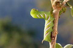 Privet hawk-moth caterpillar (Steve Balcombe) Tags: insect moth privet hawkmoth caterpillar green stripes big fat lepidoptera sphingidae sphinx ligustri poldens poldenhills poldenway somerset uk