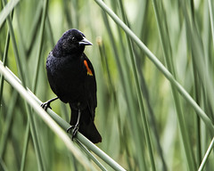 Red-Winged Blackbird (punahou77) Tags: redwingedblackbird bird wardlake reeds tamron150600mmlens tamron tamron150mm600mmlens blackbird stevejordan sierras sierranevada sierranationalforest highsierra california camping nature nikond500
