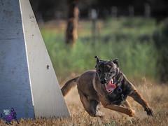 P7162635 (Songdog Studios) Tags: green dog neumond womensretreat 2017 k9 schutzhund ipo