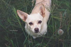 Baby ((Sarah Robinson)) Tags: dog mutt chihuahua ears nose eyes grass weeds green white small animal canine cute outdoors nature outside yard nikon d750 105mm