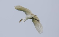2U7A3449 (rpealit) Tags: scenery widllife nature ocean city rookery great egret bird
