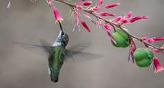 DSC_0648 (Kerstin Winters Photography) Tags: pink green colors nahaufnahme macro fotografie photography naturephotography nature naturfotografie fauna flora newmexico vogel detail d7200 nikondigital nikondsl nikon outdoor kolibri blumen flower flickrnature flickr closeup hummingbirds
