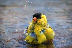 take a bath (david_sharo) Tags: nature wildlife bird water moraine lake pennsylvania