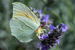 Gonepteryx cleopatra cleopatra DSC09906 (imanh) Tags: insect vlinder imanh iman heijboer butterfly