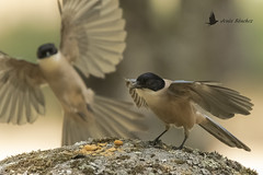 Rabilargo ibérico (Cyanopica cooki) (jsnchezyage) Tags: rabilargoibérico cyanopicacooki ave pájaro fauna naturaleza birding bird
