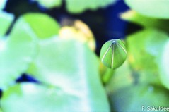 Lotus at the Top View (Tah Sakuldee) Tags: conceptual flower grainny green idealism lotus water calmness filmphotography