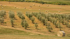 Olive trees (hjuengst) Tags: toscany tree olivetrees pattern perugia sanquiricod´orcia italy harvest