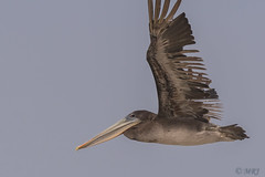 Flying Brown Pelican (MelRoseJ) Tags: halfmoonbay california unitedstates birds nature a77ii alpha autofocus sonyalpha sal70400g sony sonyilca77m2 brownpelican pelican francisbeach