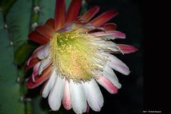 Cereus Peruvianus h 04.27 (Paolo Bonassin) Tags: cactaceae cactacee cactus succulente cereus cereusperuvianus flowers