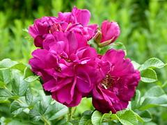 2017 Germany // Unser Garten - Our garden // im Juli // (maerzbecher-Deutschland zu Fuss) Tags: 2017 garten natur deutschland germany maerzbecher garden unsergarten juli rose