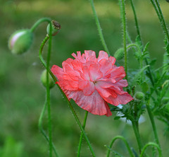 Poppies from my garden. (Bessula) Tags: bessula nature garden flower poppies summer plant beautiful delikate petals floral coth5 ngc